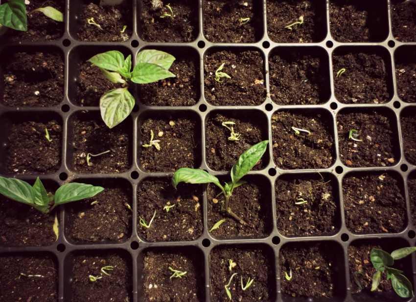 как правильно посадить перец на рассаду фото несколько