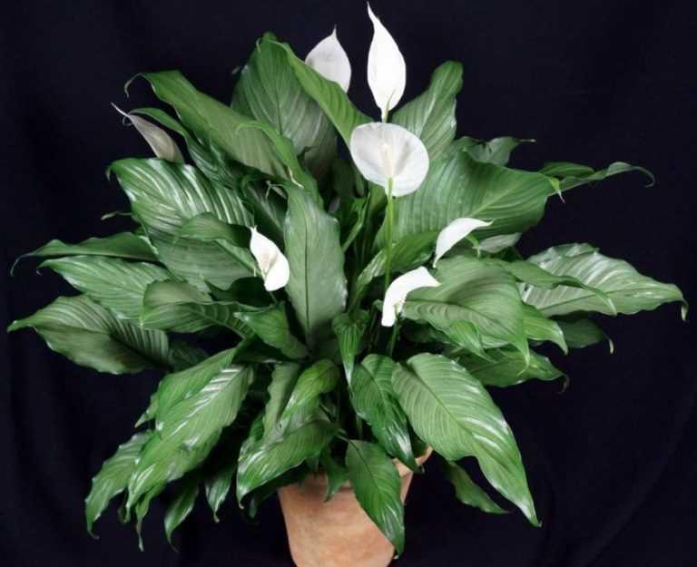 близкие друзья фото цветка спатифиллум женское счастье группа