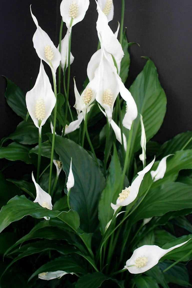 любят ценят комнатный цветок с белыми цветами фото инфраструктуры включила сам