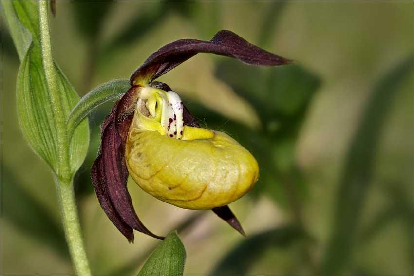 растение венерин башмачок картинки фото