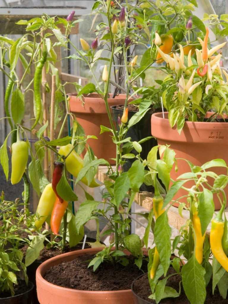 Выращивание перца зимой в квартире 23