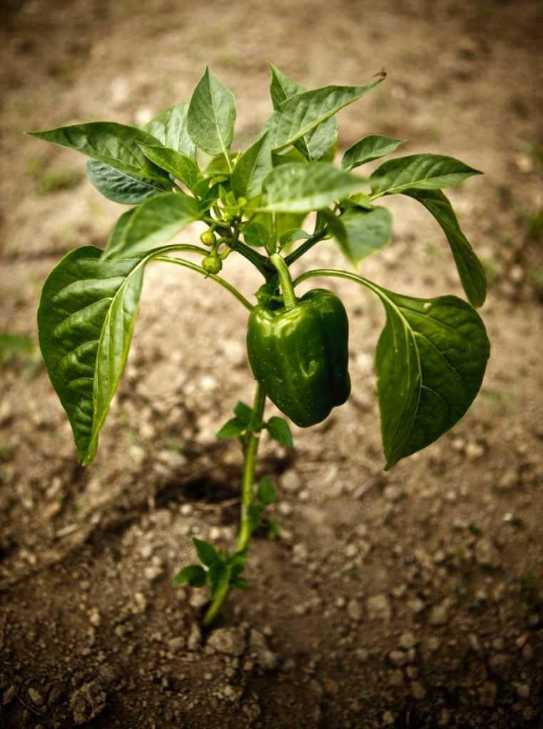 Выращивание перца дома 87