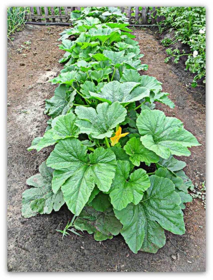 Выращивание кабачков и уход за ними 30
